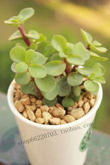 多肉植物、观叶植物金枝玉叶 含花盆 防辐射植物 办公室绿植
